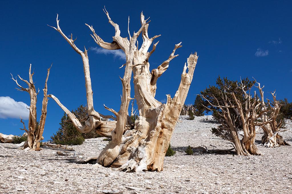 Ancient Bristlecone Pine 3