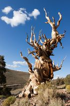 Ancient Bristlecone Pine 4