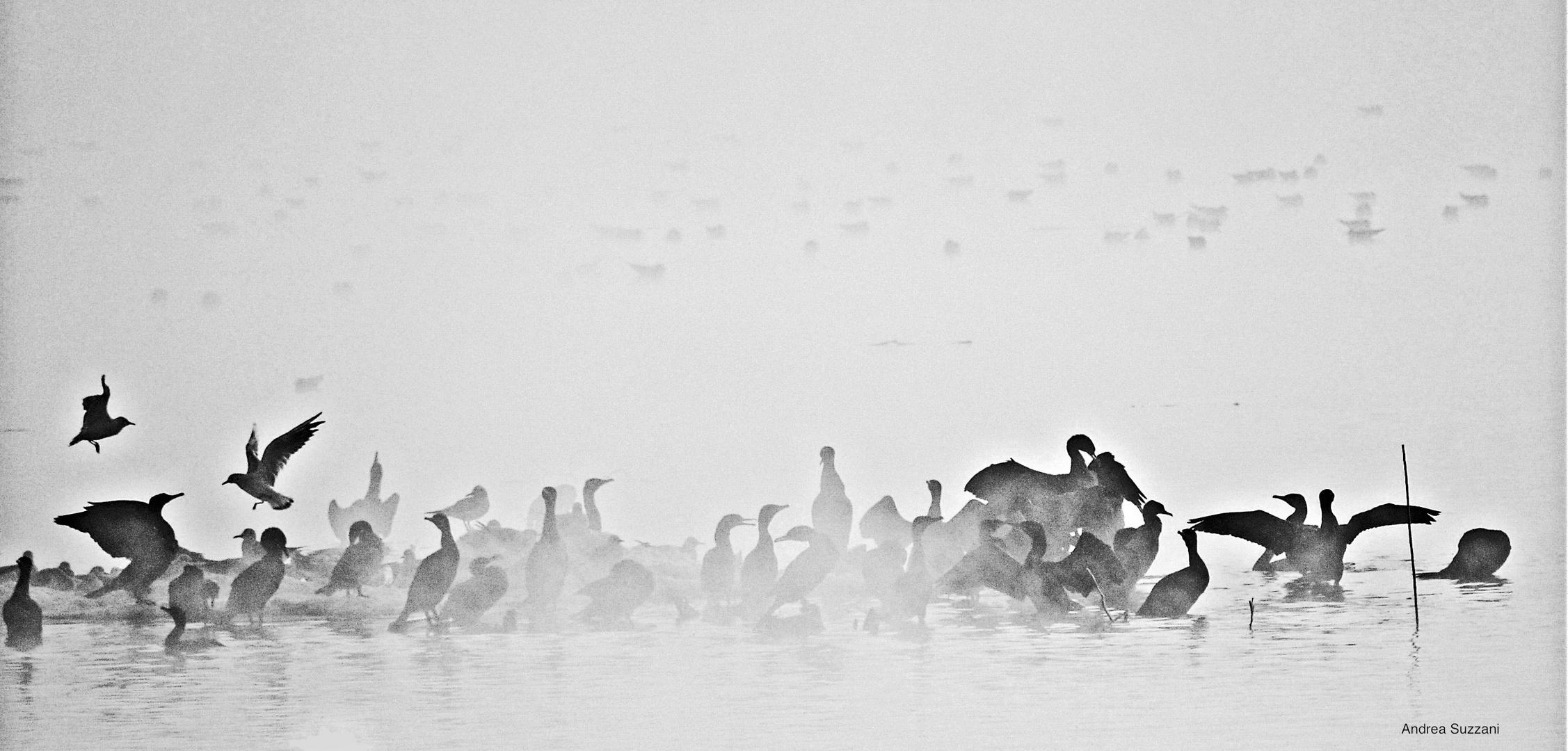 Ancora nebbia, nel lago delle papere e cormorani