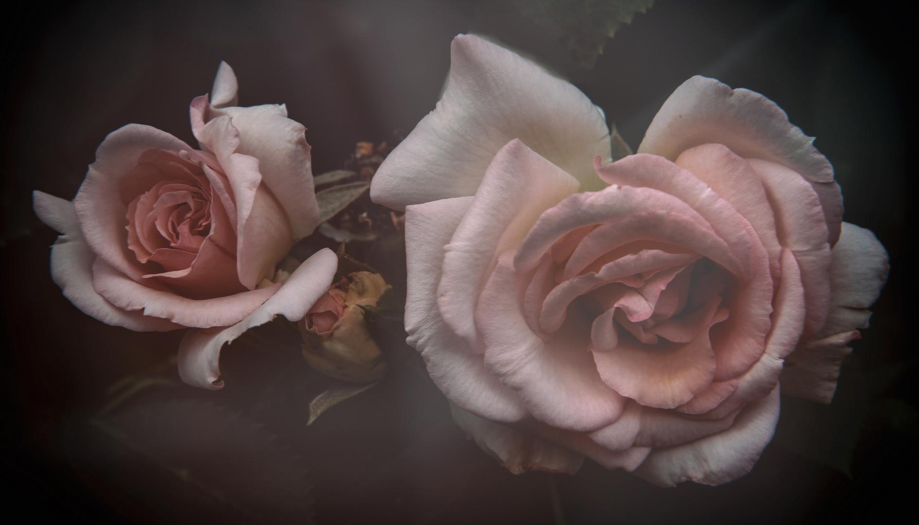 ...ancora soft...rose...