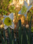 ...and Narcissus is turned to a flower..