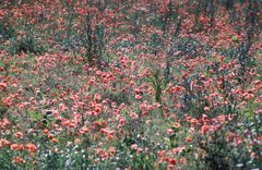 and the wild poppies dance...