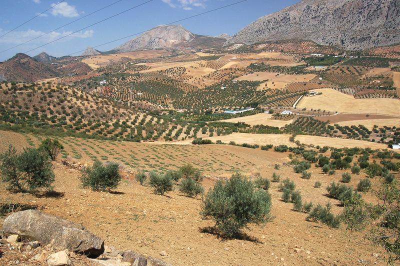 Andalusische Landschaft mit Olivenbäumen