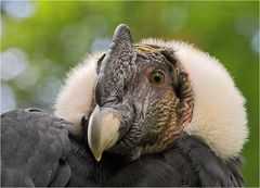 Anden-Kondor, Vultur gryphus