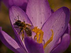 Andrena bicolor?