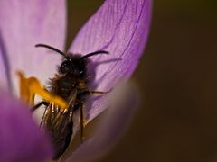 Andrena pilipes