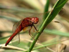 """Androchromes (männchenfarbenes) Weibchen der Feuerlibelle beim """"Augenputzen"""""""