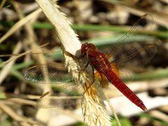 Androchromes (männchenfarbenes) Weibchen der Feuerlibelle
