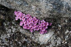 Androsace alpina - Alpenmannschild
