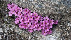 Androsace alpina - Alpenmannsschild  der auf steinigen...