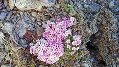 Androsace alpina  der Alpenmannsschild  darf in einer frühen Phase...