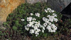 Androsace carnea ssp. brigantiaca- Mannschild...