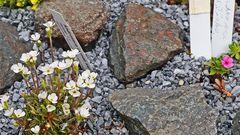"""Androsace ciliata und Androsace carnea sind Raritäten wie fast alla """"Mannsschilde"""""""