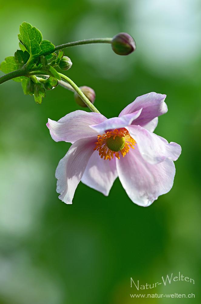 ~ ~ ~ Anemone ~ ~ ~