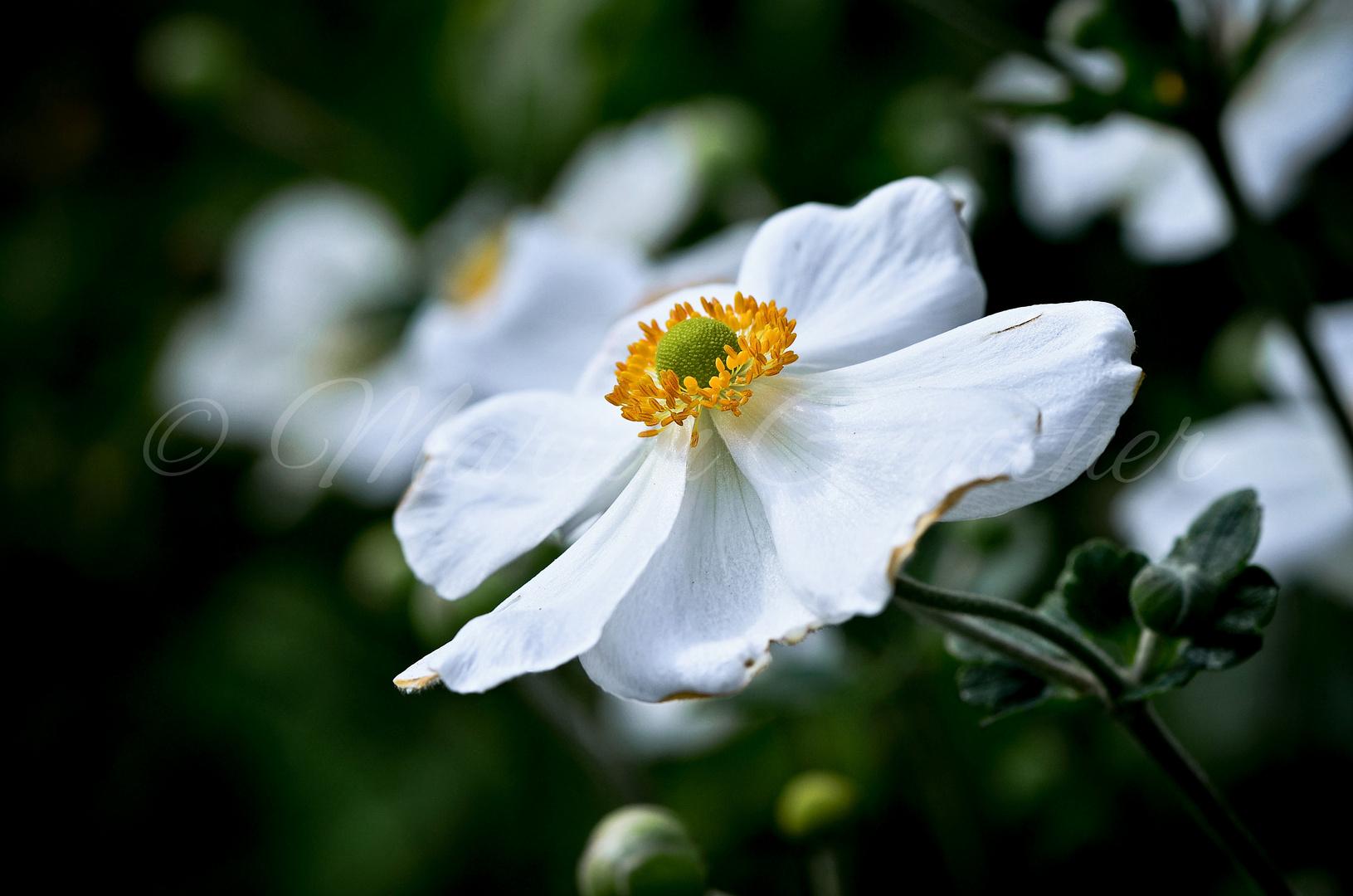 Anemone ..