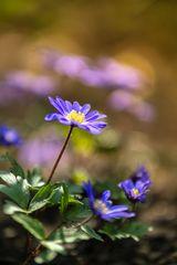 Anemone Apennina