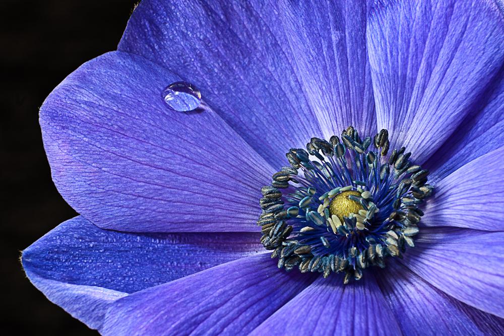 Anemone blau