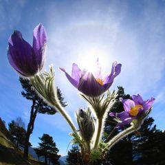 anemone di montagna (4)