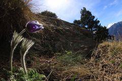 anemone di montagna (5)