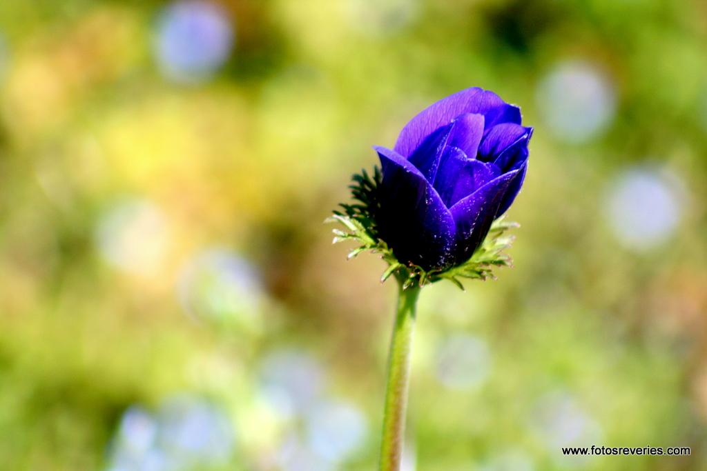 Anémone en plein pré de fleurs