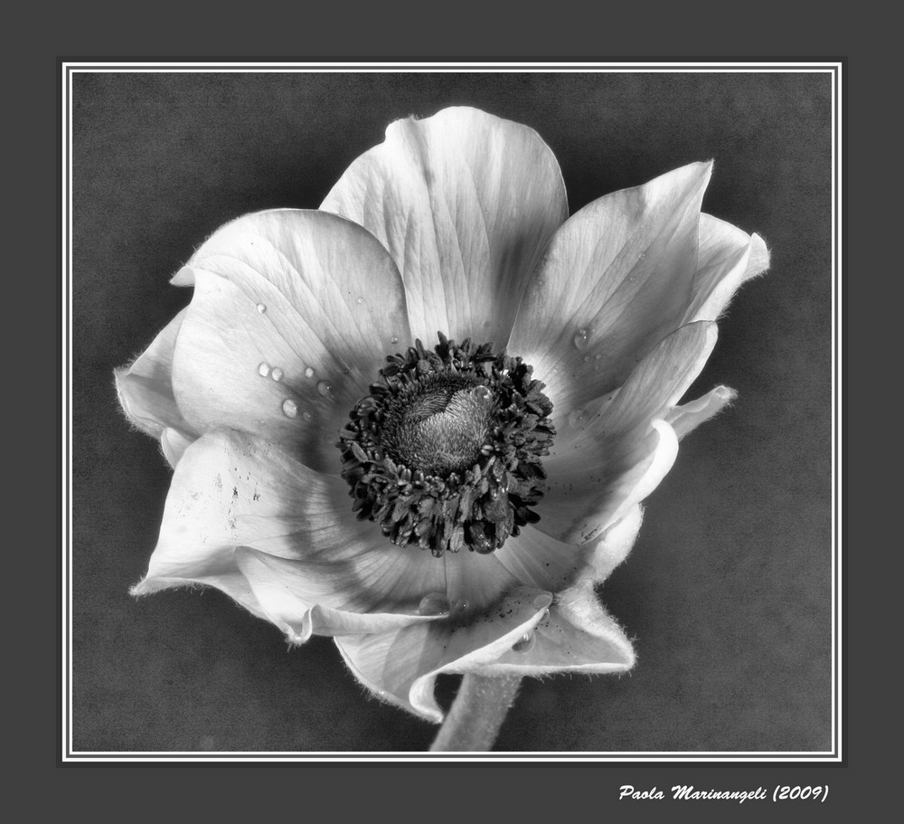 Anemone Flower In Black And White Photo Image Fine Art