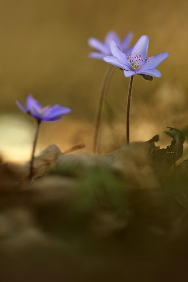 Anemone hepatica - Leberblümchen