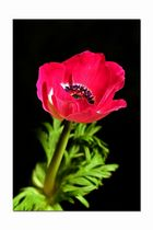Anemone in rot
