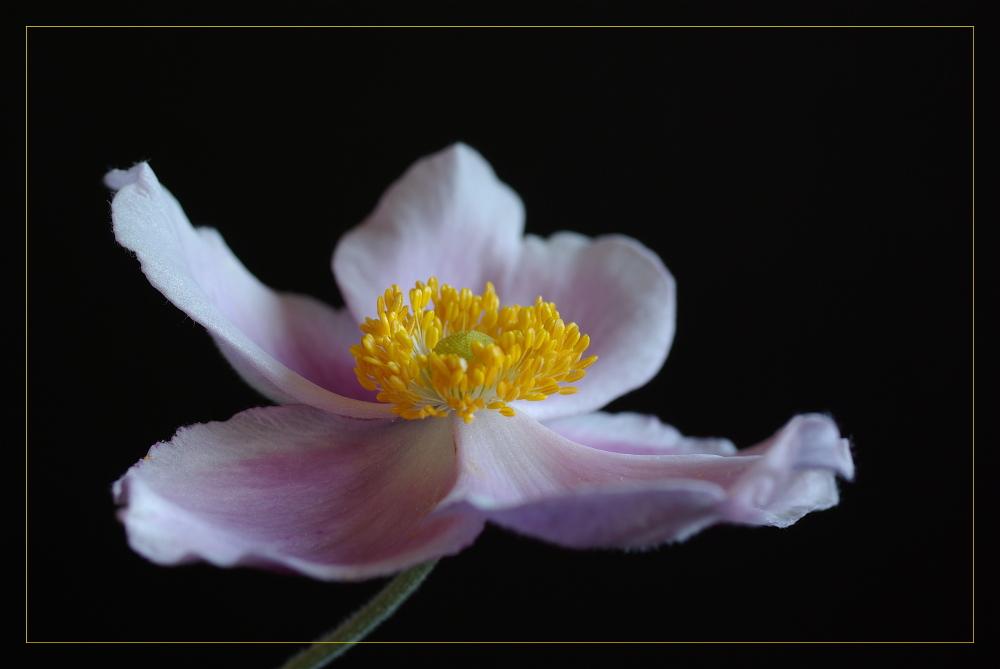 ... anémone japonica ... (3)