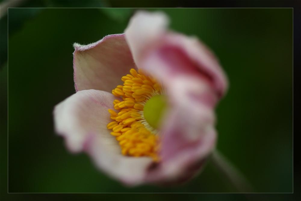 ... anémone japonica ...