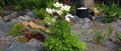 Anemone sylvestris - die Große Waldanemone ist fast immer eine besondere Zierde des Gartens