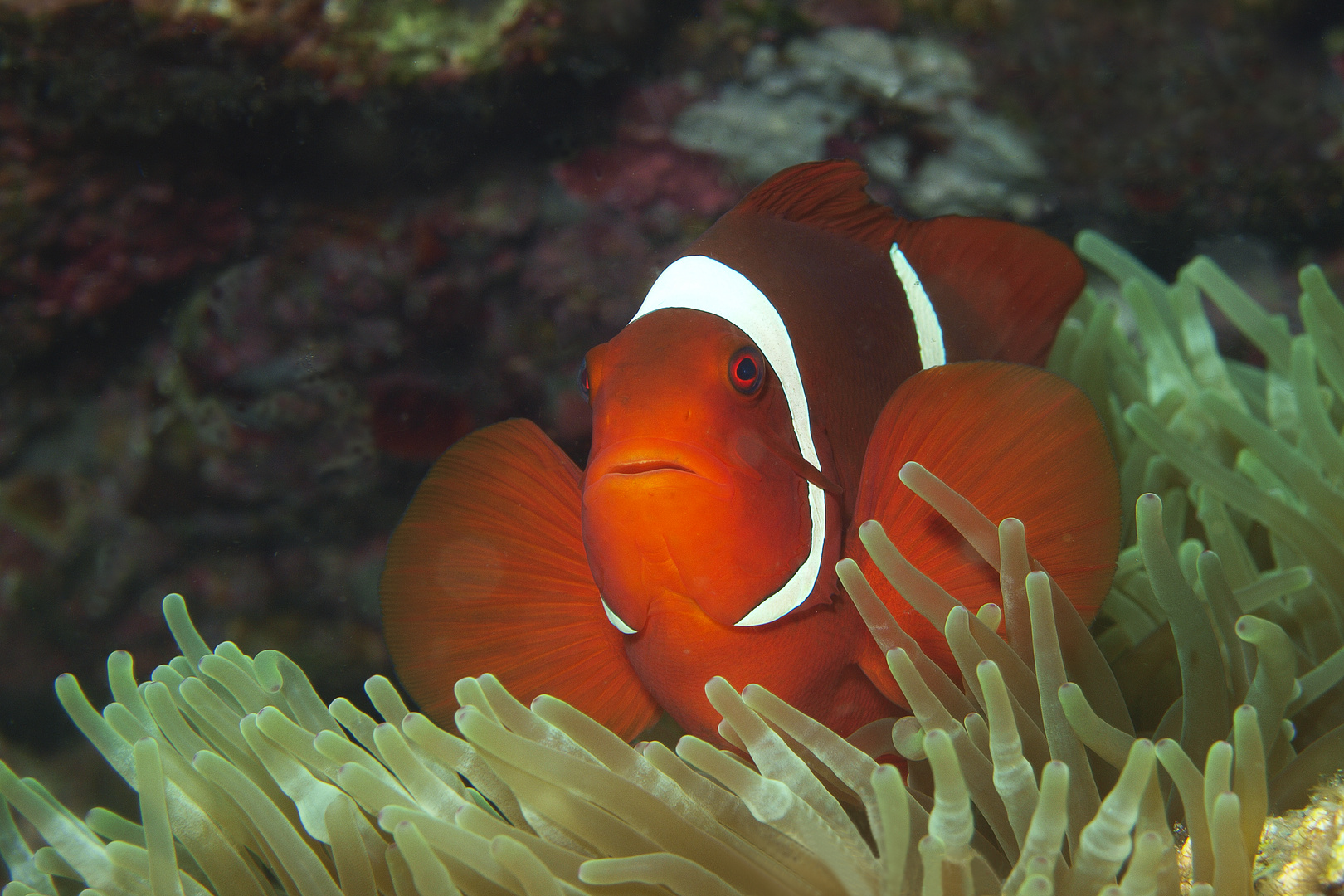 Anemonefish   In Red