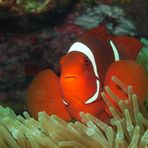 Anemonefish | In Red