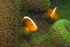 Anemonefish | In The Green