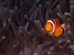Anemonenfisch.....