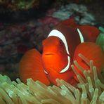 Anemonenfisch   In glühendem Rot