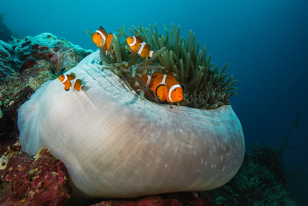 * Anemonenfische (Amphiprion ocellaris) *