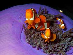 Anemonenfische | Streitbare Gesellen