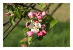 Anflug an eine Apfelblüte