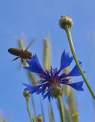 Anflug auf die Kornblume