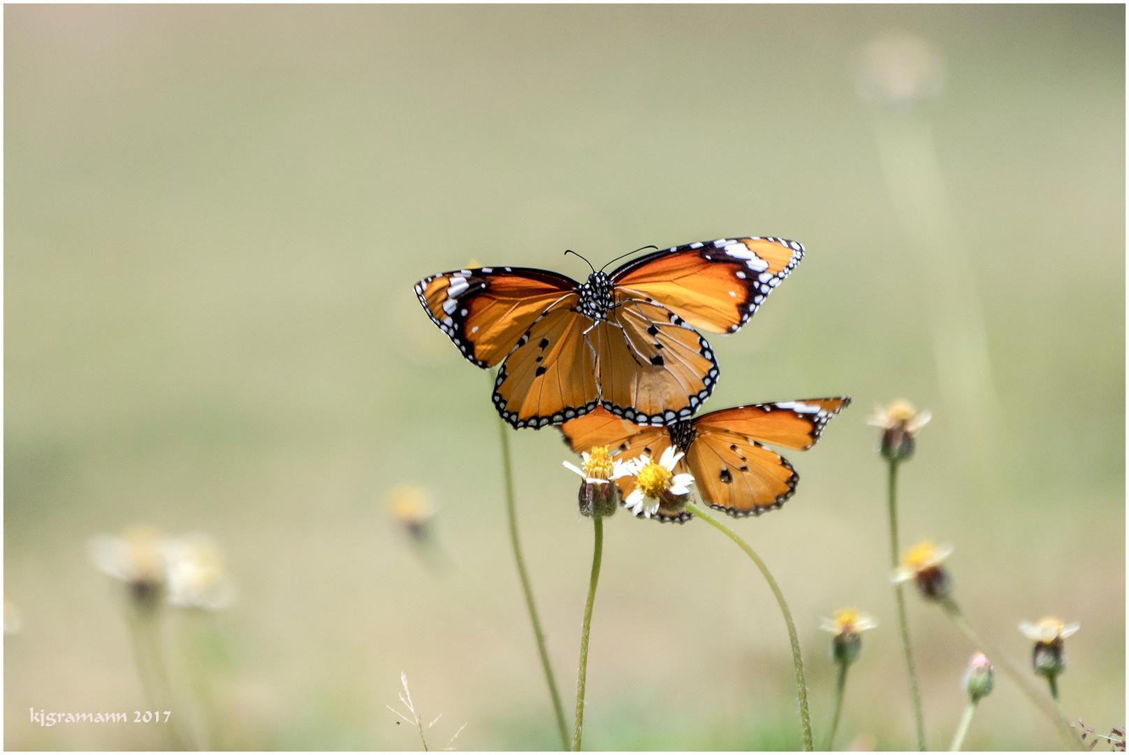 anflug der monarchfalter auf.....