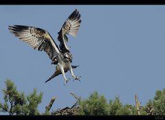 Anflug eines Fischadlers