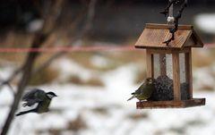 Anflug - Meise und Grünfink
