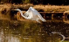 angelico stacco