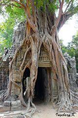 Angkor-Wat - Tempel in einer Würgefeige