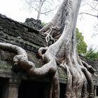 Angkor-Wat - Tempelanlage überwuchert von Bäumen