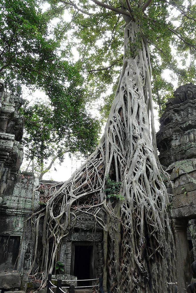 Angkor-Wat - Würgefeige