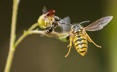 Angriff auf die Wildbiene 020920_3859