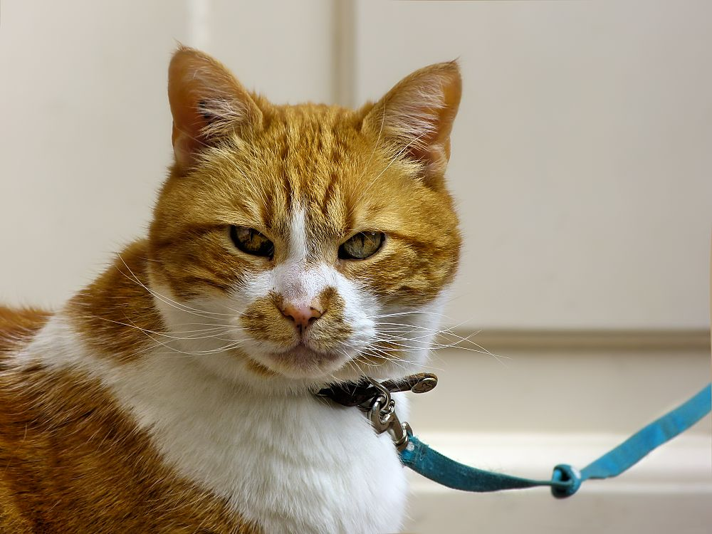 Angry cat on a leash