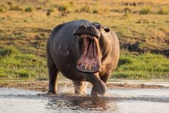 angry hippo again