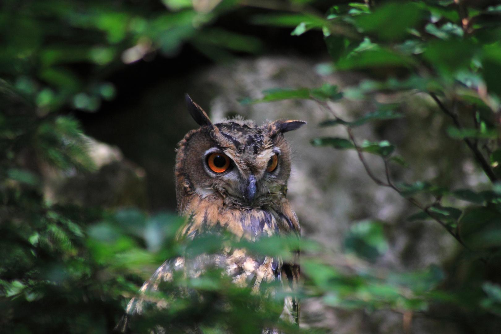 Angry (?) Owl